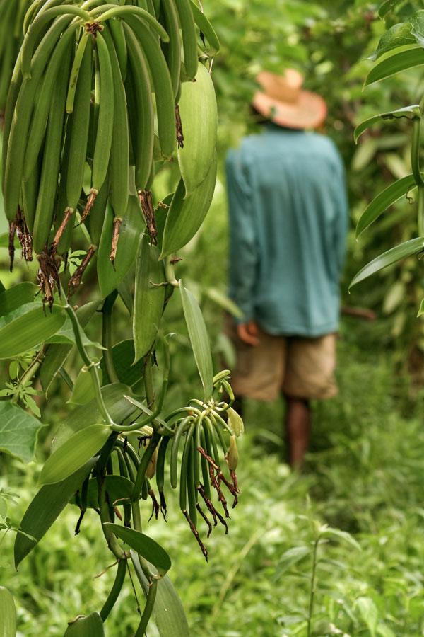 וניל טבעי במדגסקר