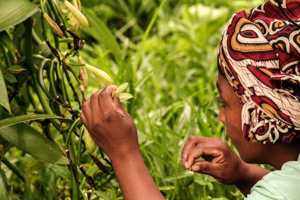 צמח הוניל