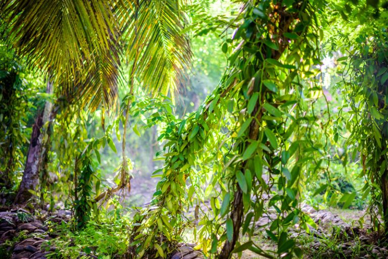 יער המלא בצמח ממנו מפיקים וניל