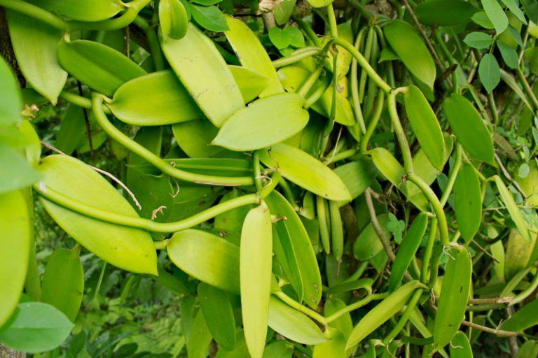 צמח הוניל מזן פלאניפוליה