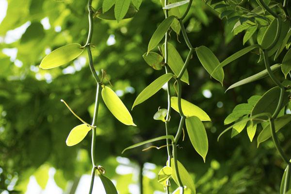 צמח הסחלב ממנו מפיקים וניל טבעי